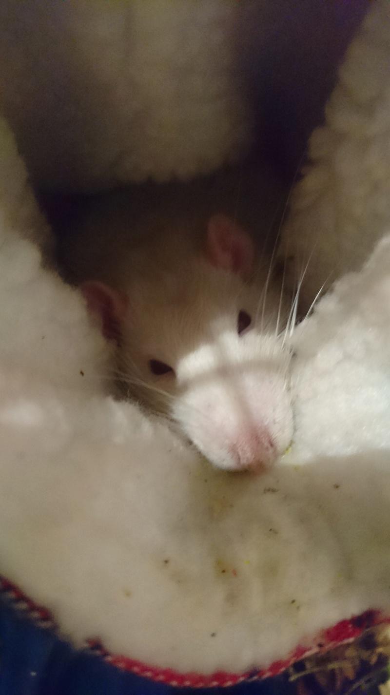 Rat amorphe et souffrant, vétérinaire sans diagnostique Dsc_0110