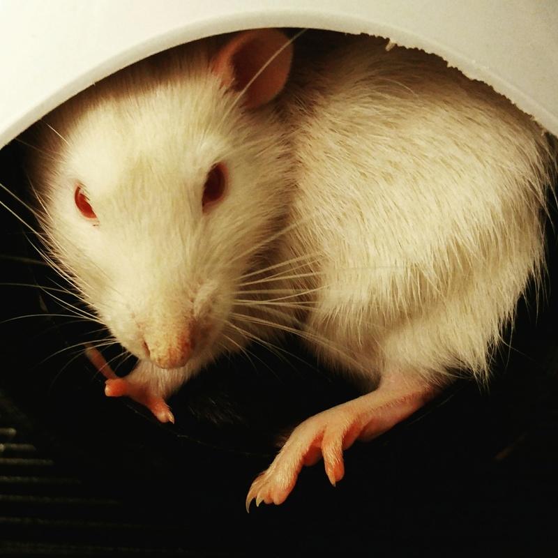Rat amorphe et souffrant, vétérinaire sans diagnostique Img_2010