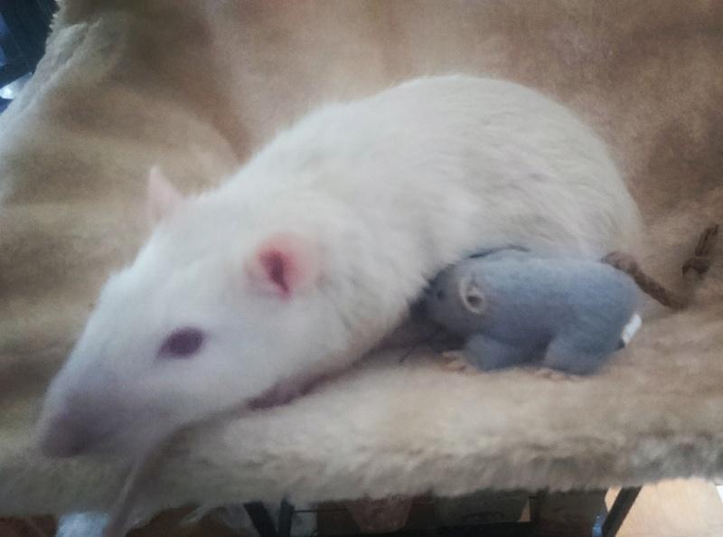 Rat amorphe et souffrant, vétérinaire sans diagnostique Img_2012