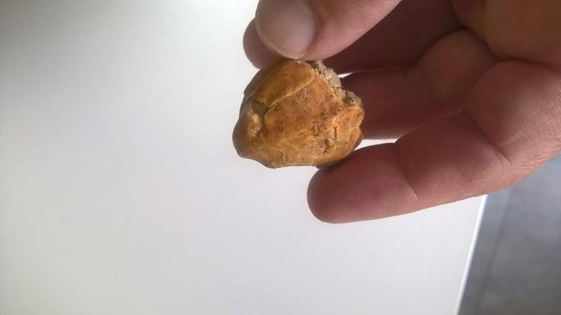 braquiopodo del mioceno Wp_20129