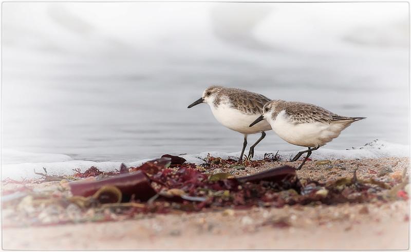 Bécasseaux sanderling 20171210