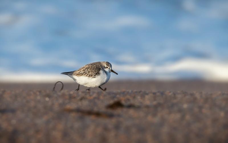 Bécasseaux sanderling 20180210