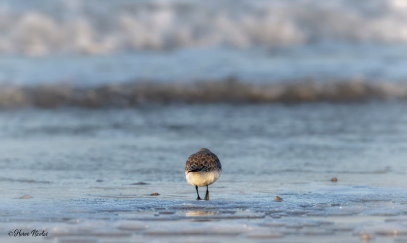 Bécasseaux sanderling Beicas12