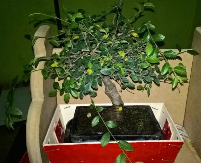 Buenas para todos los bonsaiadictos 4-03-110