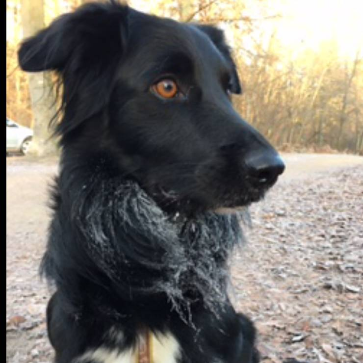 perdu border collie le 4 mars dans l'oise  Gypsy210
