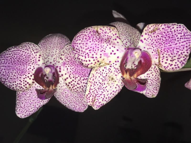 Phalaenopsis malade..Help! Img_4214