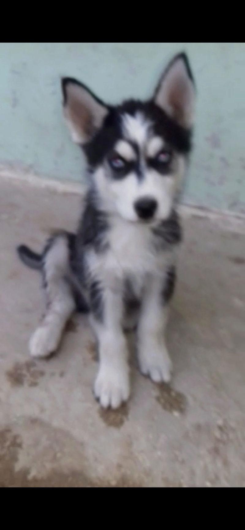 Is this husky pure?? 27de6410