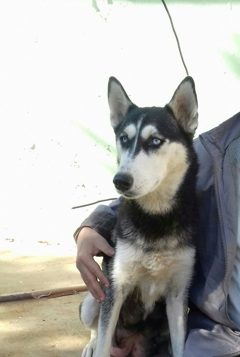 Is this husky pure?? 82595110