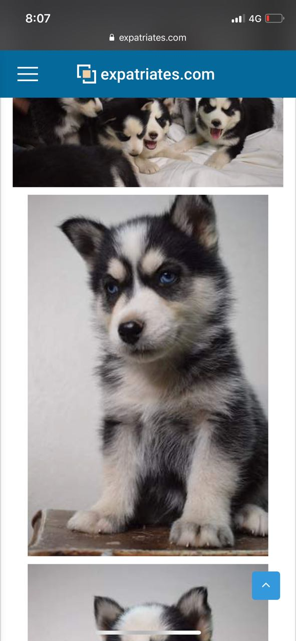 Is this husky pure?? 8d6f3d10