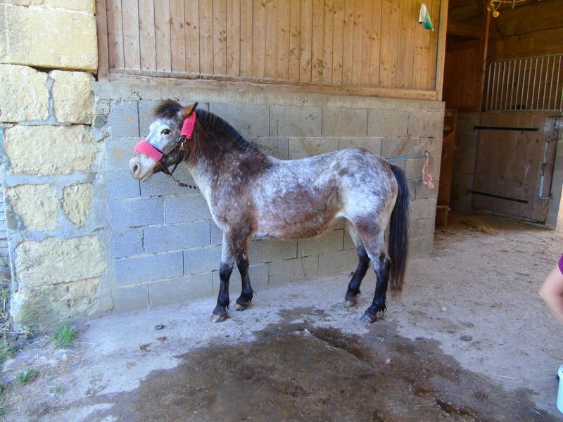 Faire du Reïki à distance sur un poney ? Dsc00611