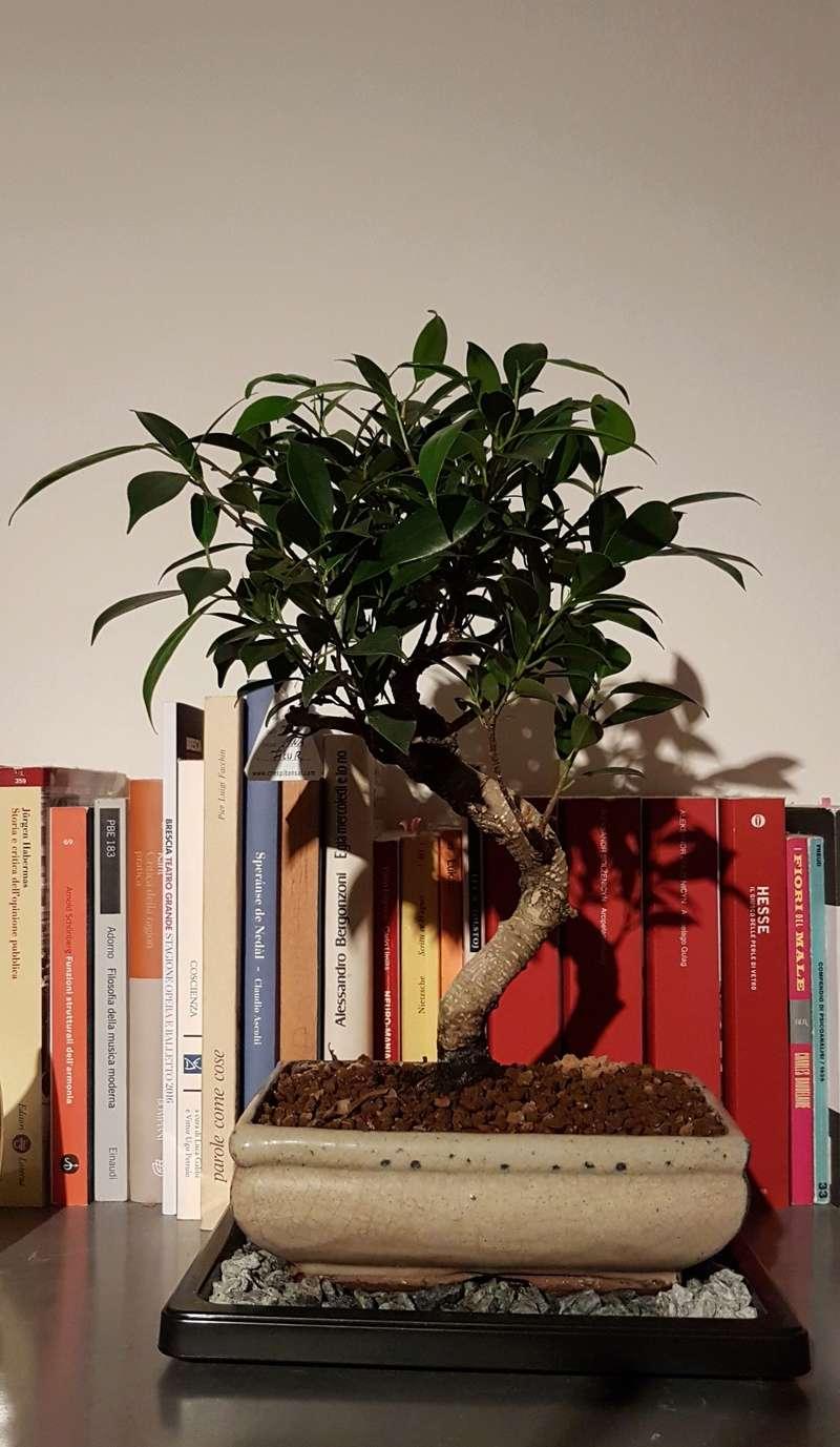 Primo bonsai Ficus Retusa 20180310