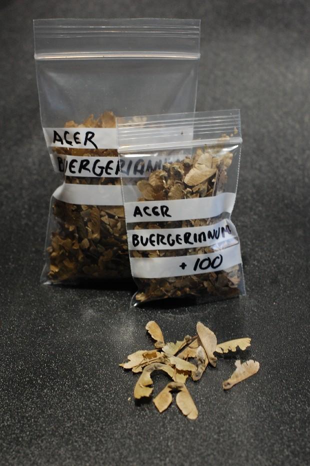 Semillas Penta, Buerge, Palmatum, Kaki, Secuoya y Sakura  20180310