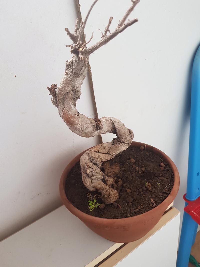 A mi bonsai se le cae las hojas 15211910