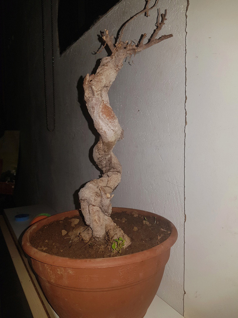 A mi bonsai se le cae las hojas 20180310