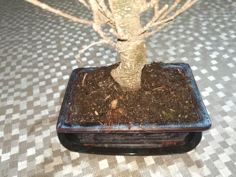Ficus Retusa Img_2011