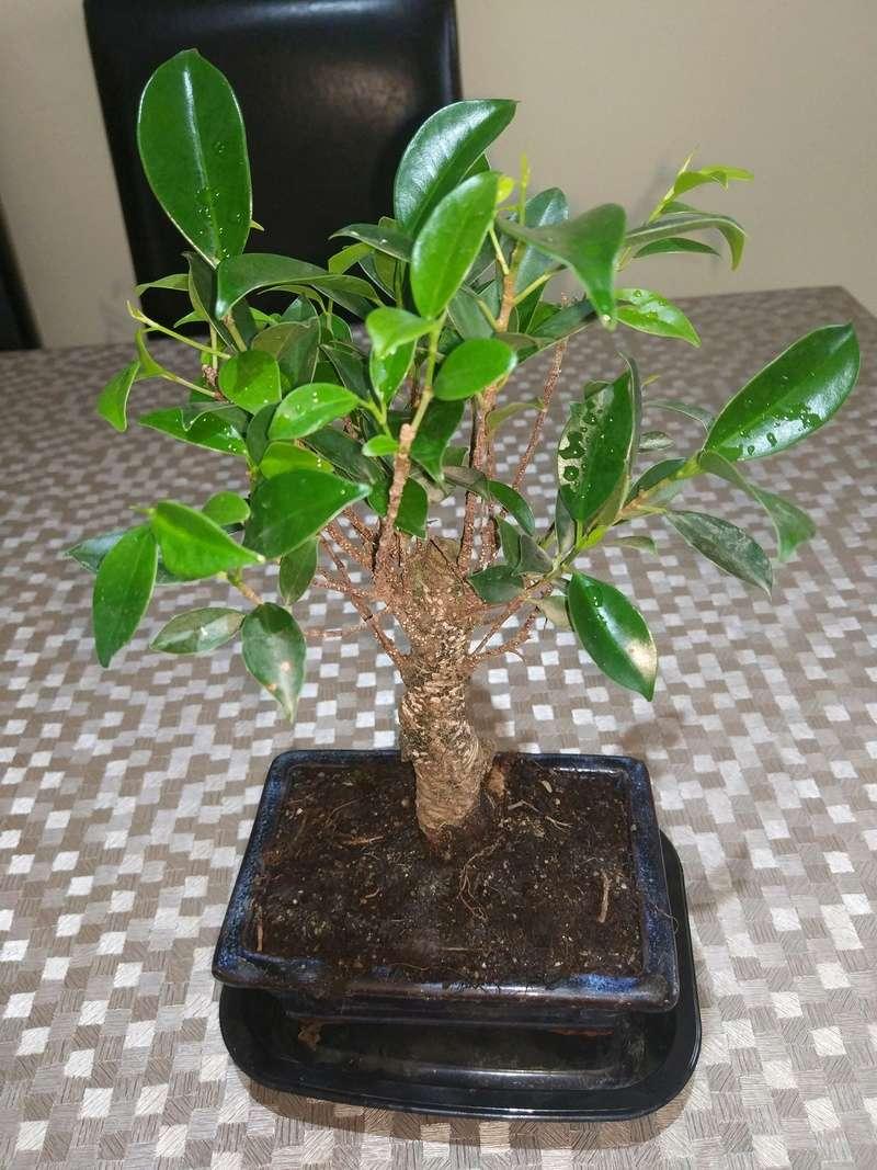 Ficus Retusa Img_2013