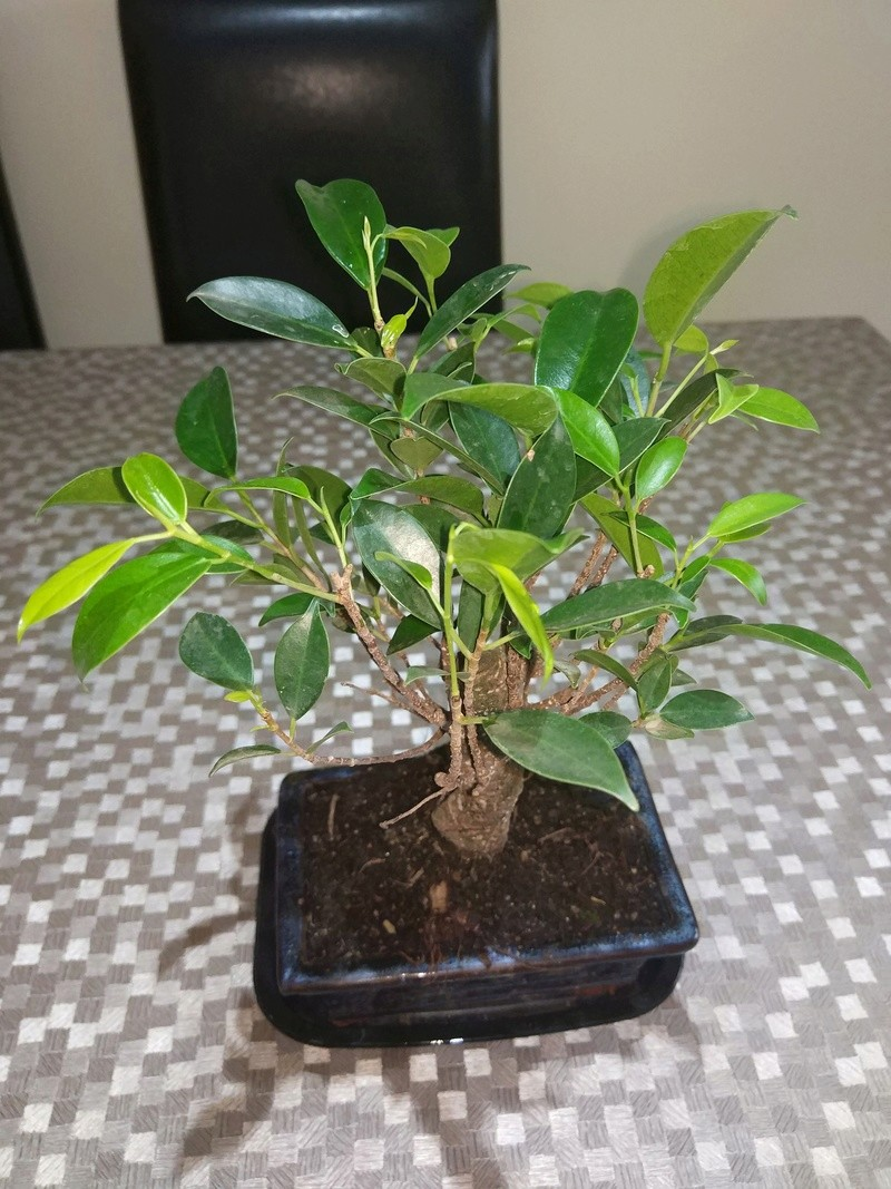 Ficus Retusa Img_2015