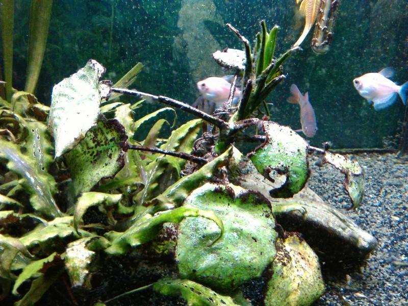 besoin d'aide pour identifier mes algues Img_2010