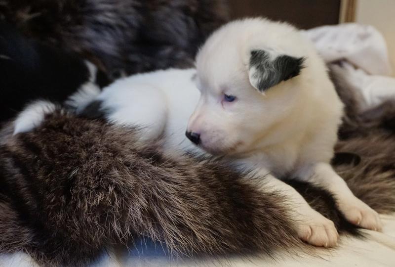Щенки якутской лайки (Логан х Ургал Сулуз Шаила Северная Фея) Dsc04915