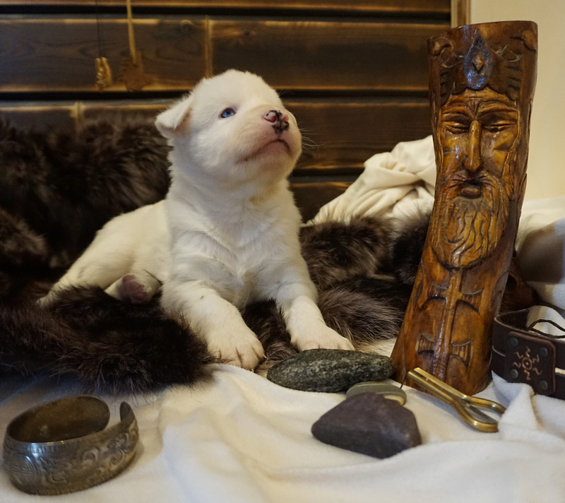 Щенки якутской лайки (Логан х Ургал Сулуз Шаила Северная Фея) Dsc05014
