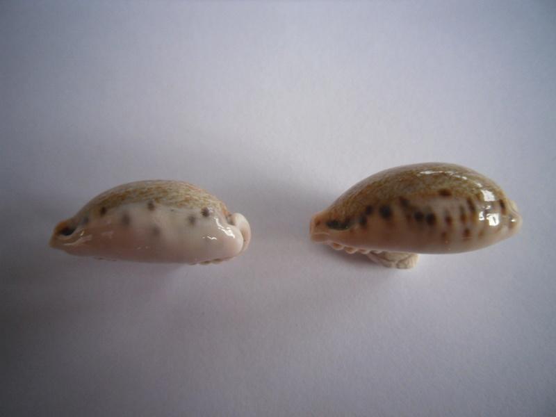 Erronea caurica draceana, samoenis, mayotensis ???? 2_caur10