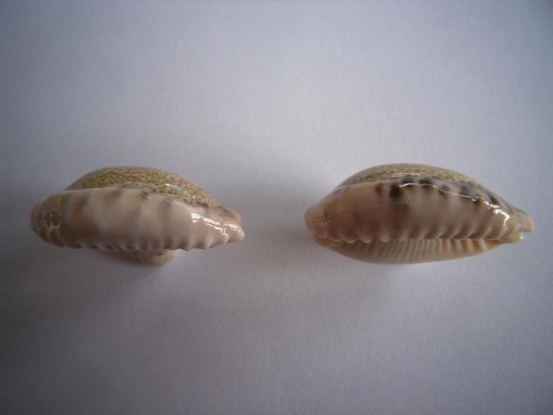 Erronea caurica draceana, samoenis, mayotensis ???? 2_caur12