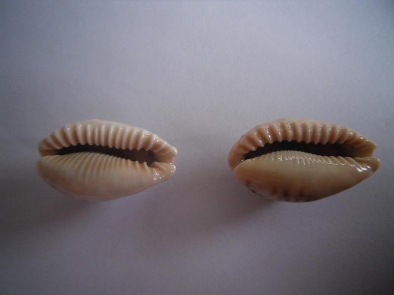 Erronea caurica draceana, samoenis, mayotensis ???? 2_caur13