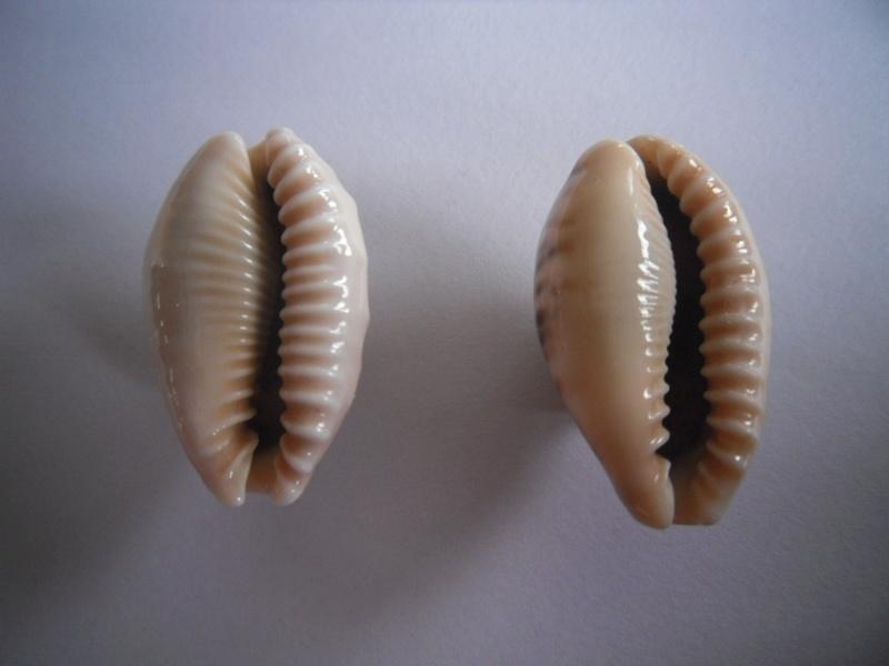 Erronea caurica draceana, samoenis, mayotensis ???? 2_caur14