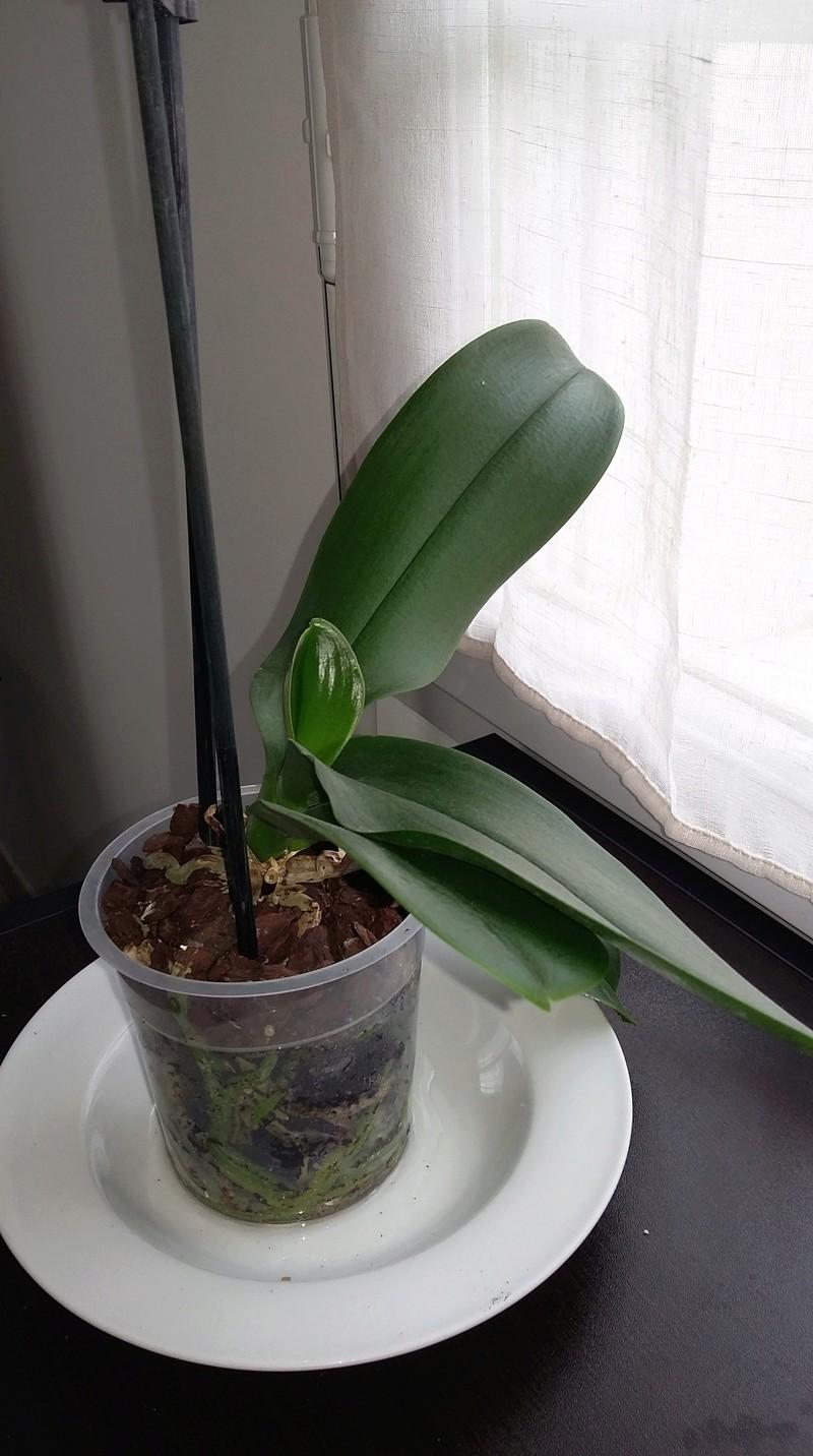 Phalaenopsis d'une débutante ! 20180416