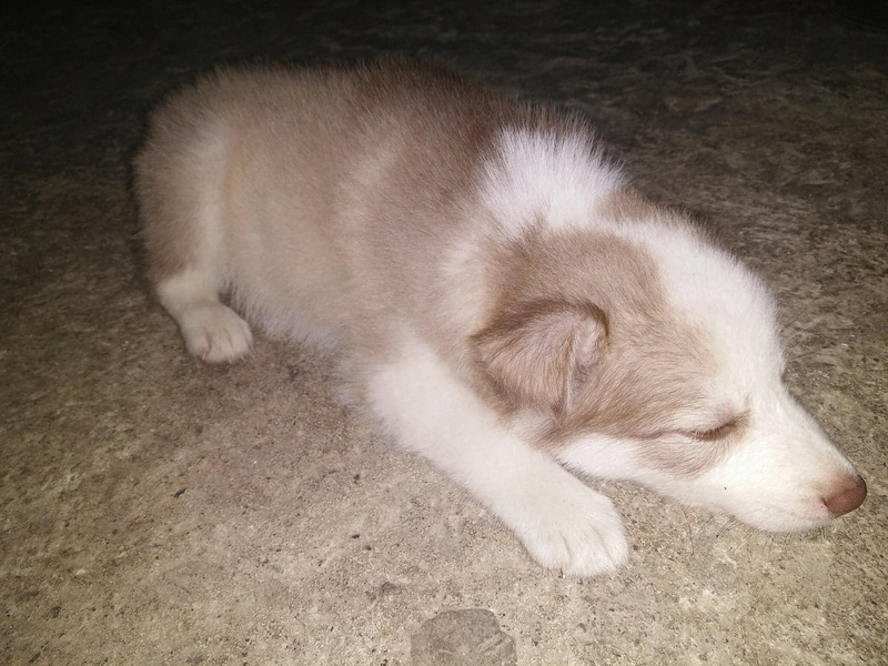Pure breed Husky or not? 28946510
