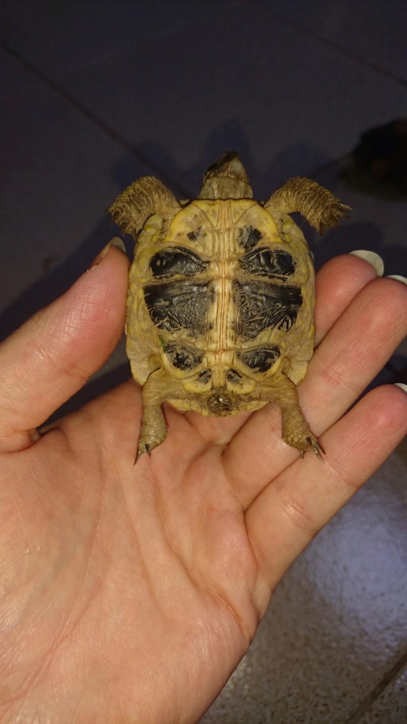 espèces tortues Dsc_2716