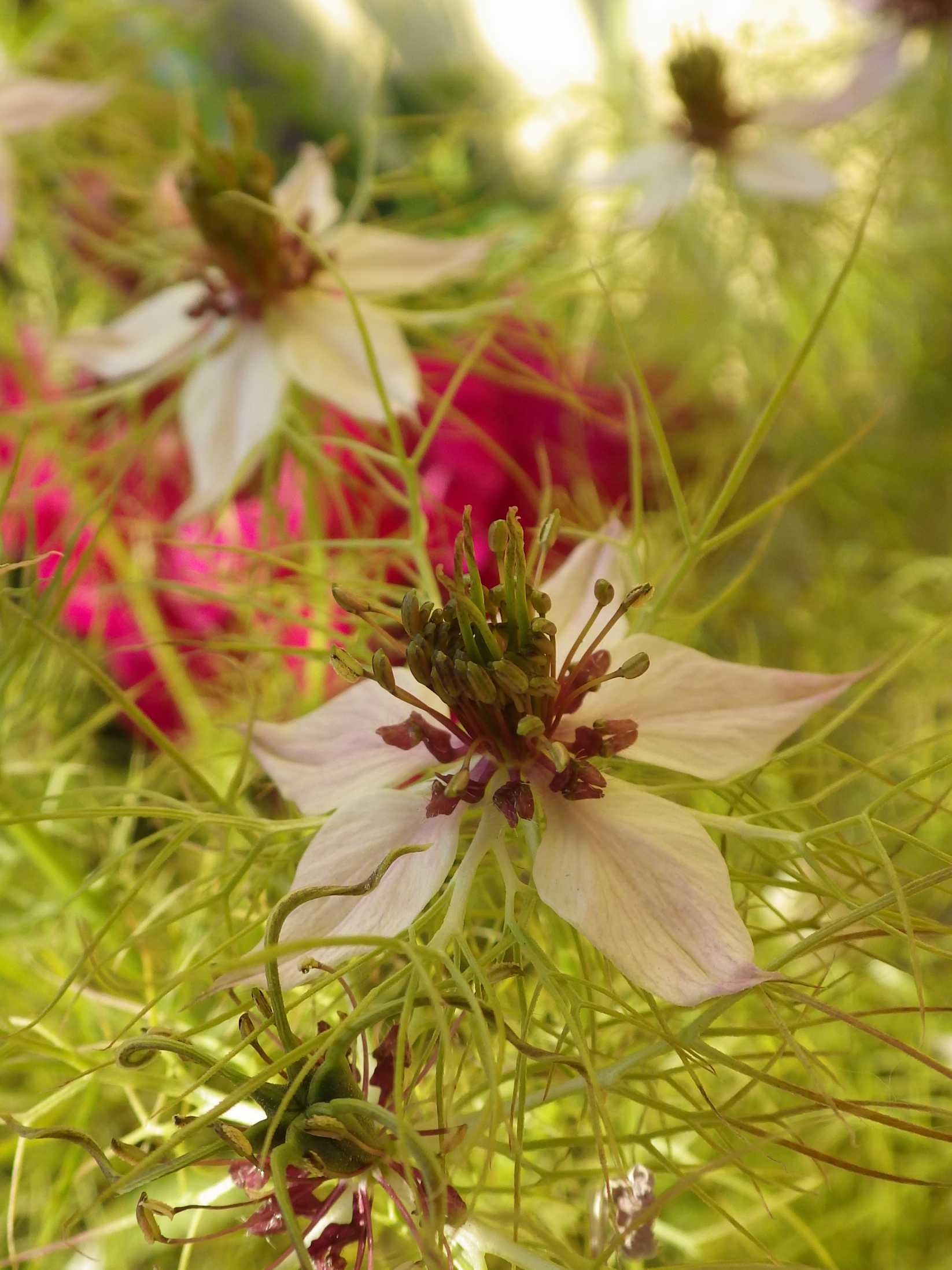 Nigella damascena - nigelle de Damas Imgp6911