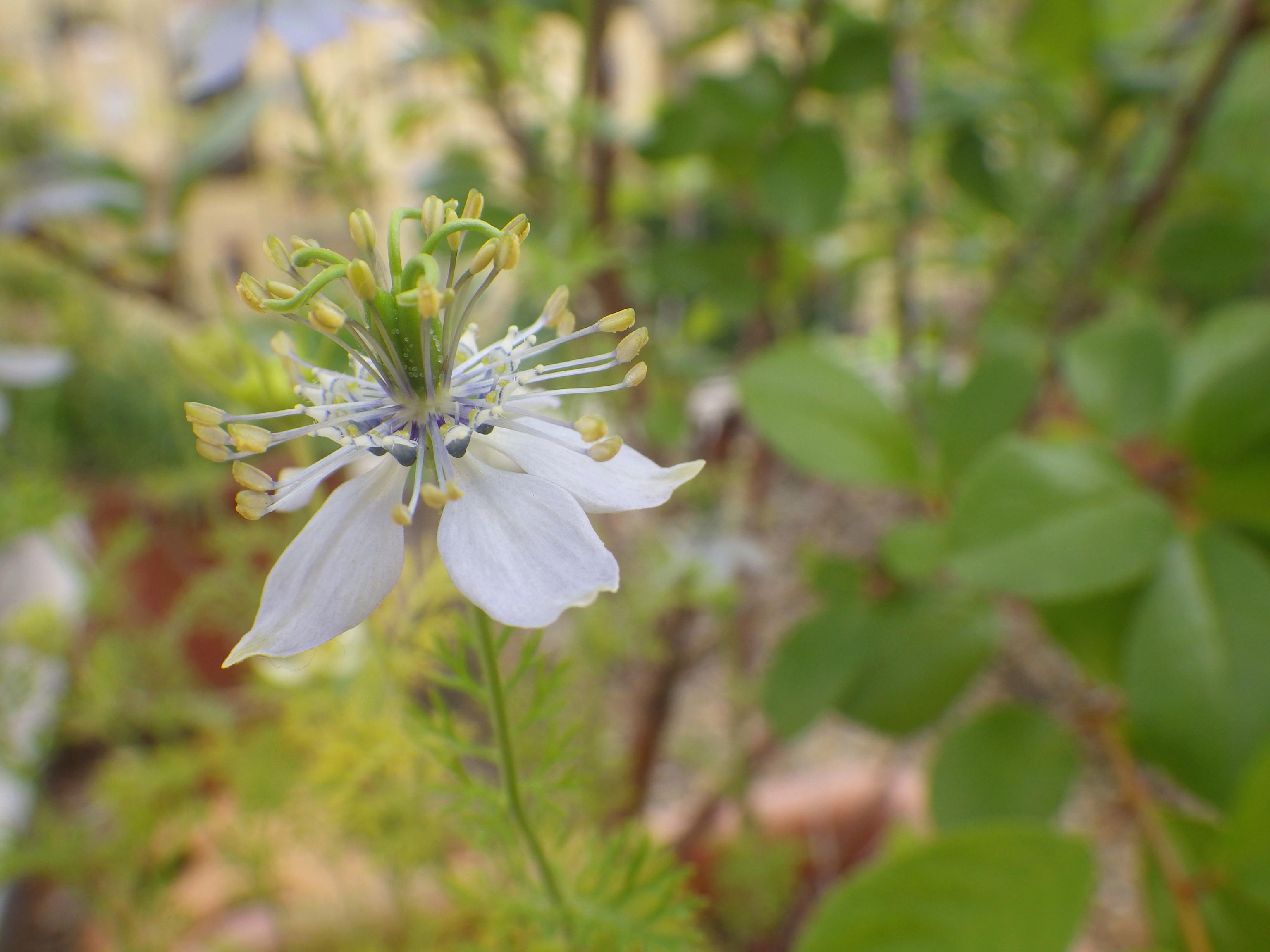 Nigella sativa - nigelle cultivée Imgp6914
