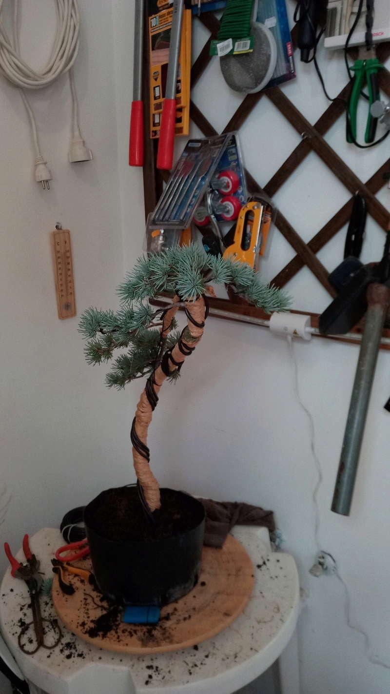 Diseñando un cedro de vivero Img_2011