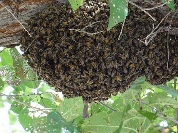 [besoin avis] Un coup de Bourdon chez les abeilles?  0110