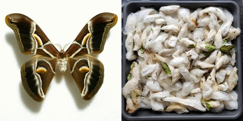 [Propose] Philosamia ricini (Bombyx éri) cocons Bombyx10