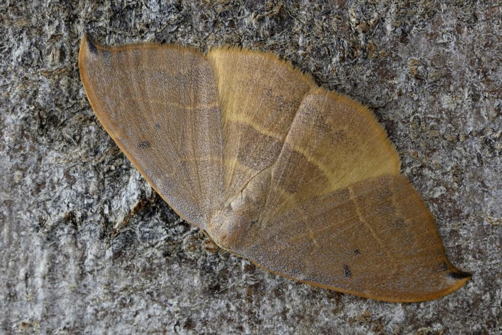 Identification lépidoptère : Watsonella binaria ? _dsc0110