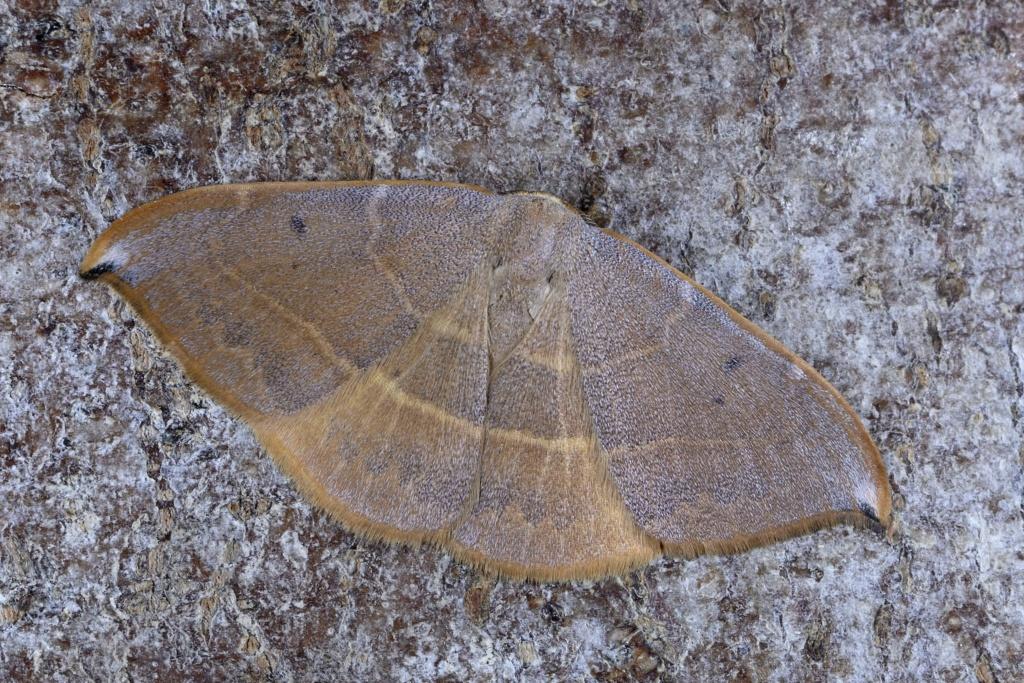 Identification lépidoptère : Watsonella binaria ? _dsc0213
