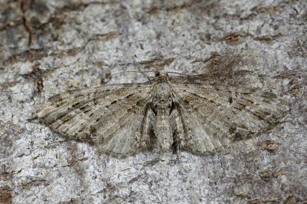 Eupithecia (exiguata) _dsc0612