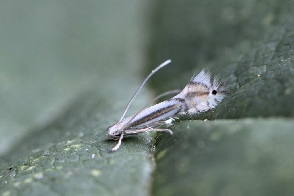 pour les amateurs de micros : Phyllocnistis saligna _dsc0910