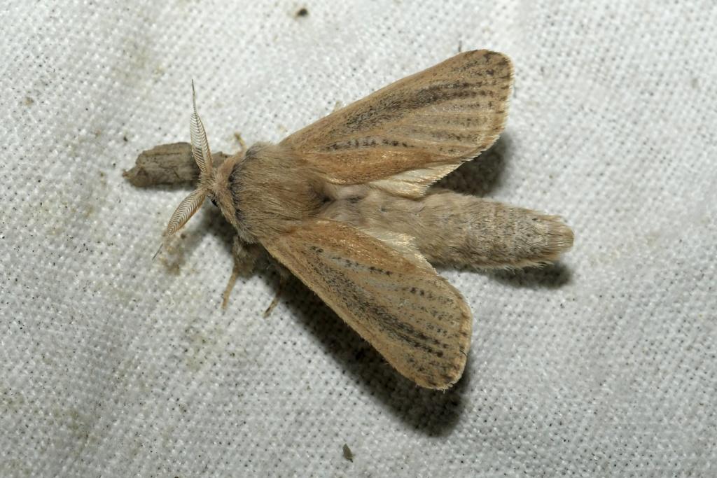 à rechercher en ce moment Phragmataecia castanea _dsc1010