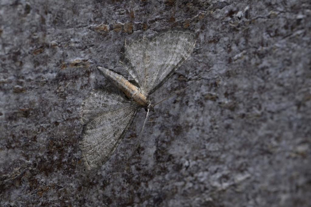 Eupithecia haworthiata _dsc1611