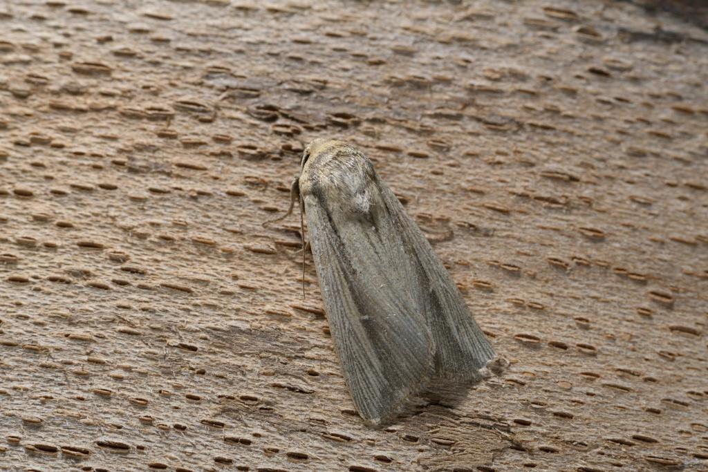 quizz noctuelle un migrateur automnal peu fréquent Leucania lorelyi _dsc2111