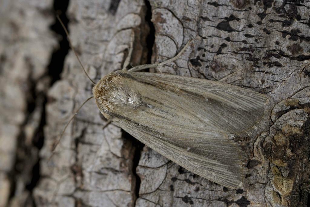 quizz noctuelle un migrateur automnal peu fréquent Leucania lorelyi _dsc2212