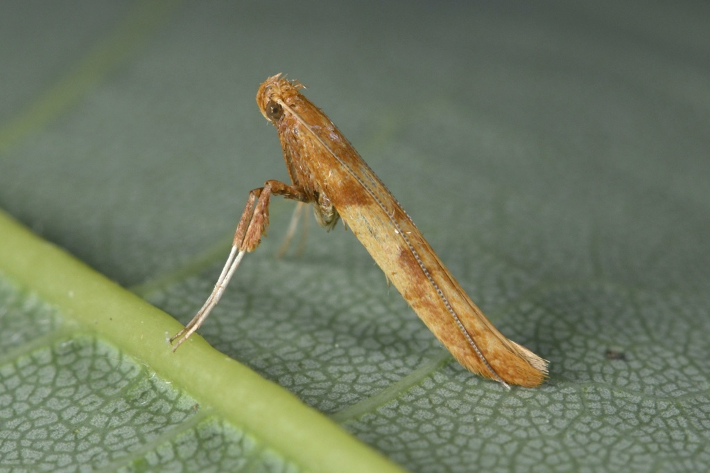 Caloptilia hemidactylella _dsc2611