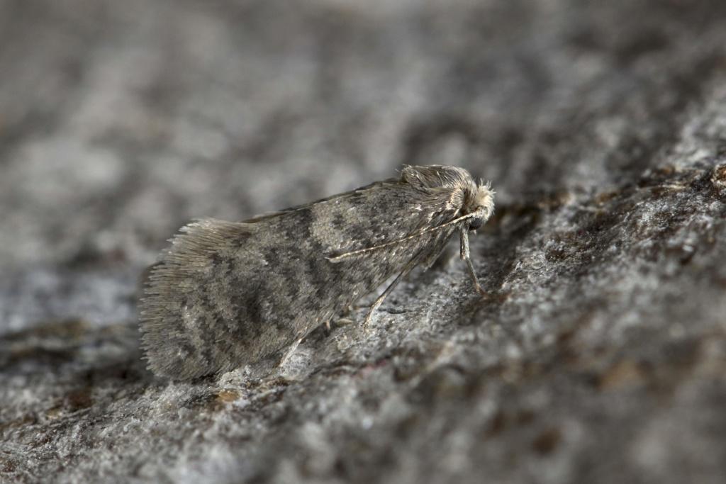 Psychidae : Luffia lapidella _dsc3710