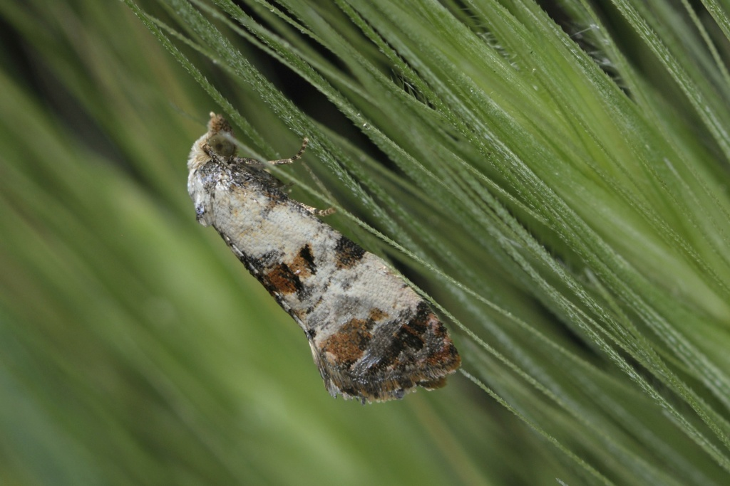 Cochylis hybridella _dsc5110