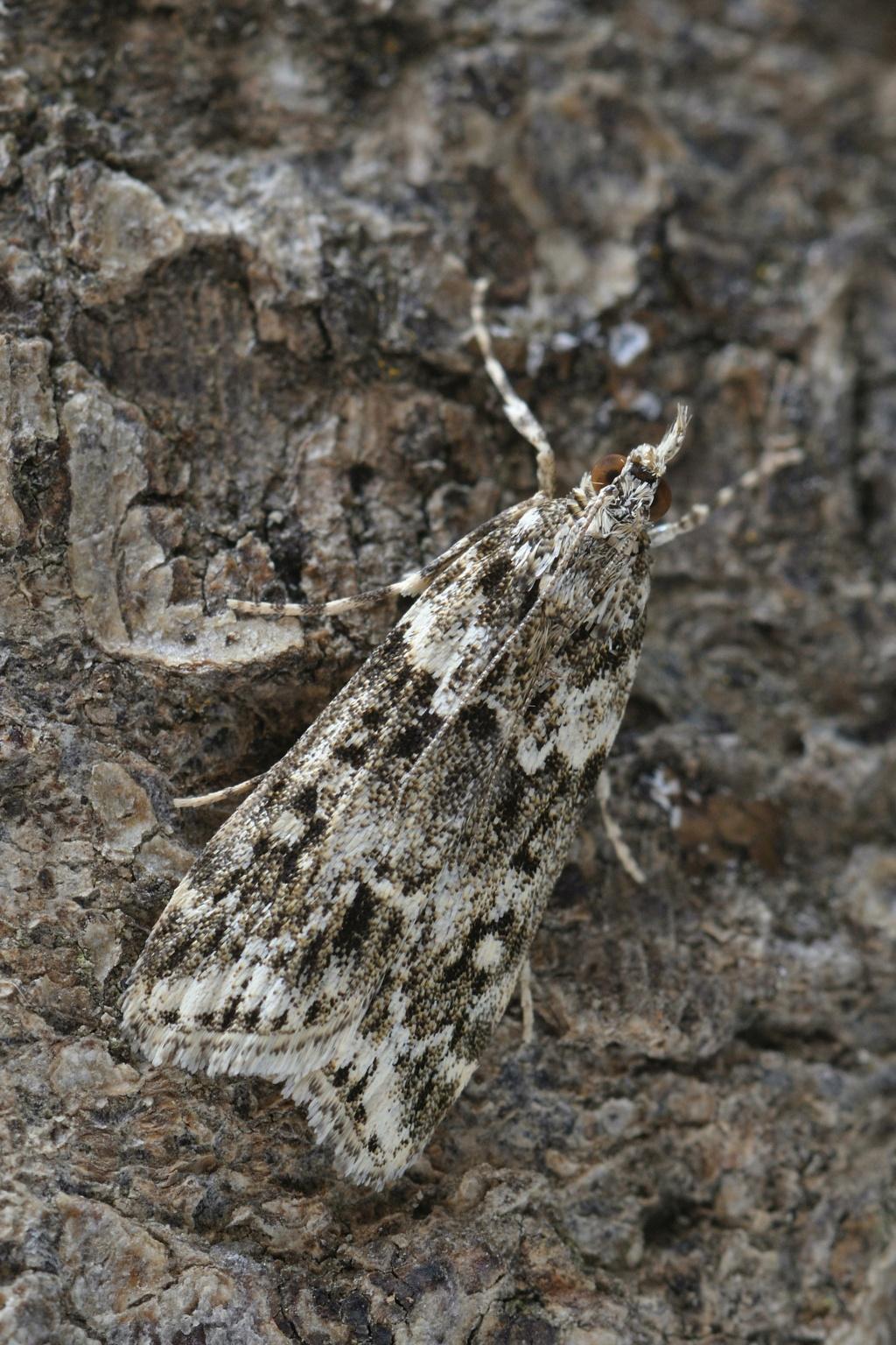 Eudonia lineola _dsc5513