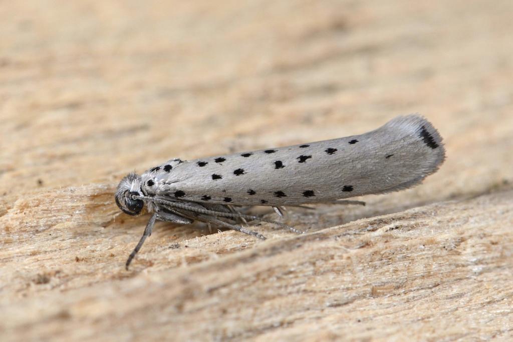 Ancylosis cinamomella et Yponomeuta sedella plus une chenille à déterminer _dsc7610