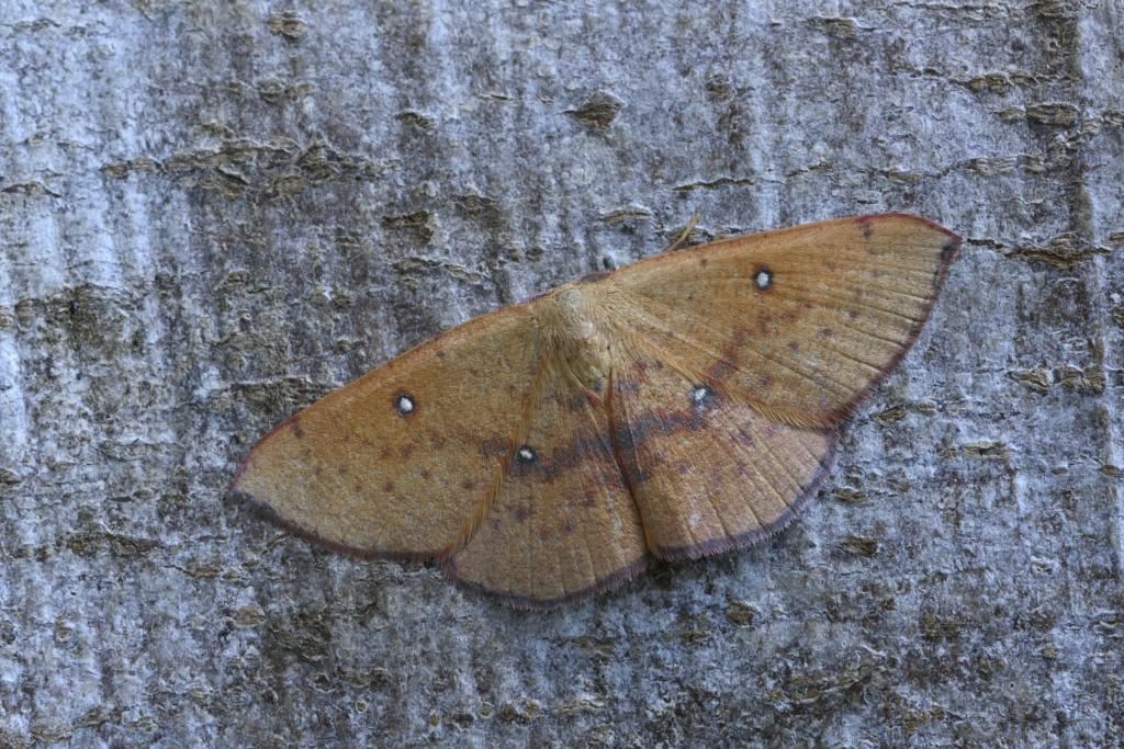 Nouvelle espèce bretonne ? Hydria cervinalis (+ Cyclophora puppillaria) _dsc8210